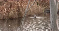 Pied-billed Grebe Swimming Along Vegetation in Pond