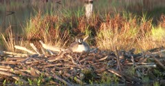 Canada Goose Hen Sitting on Nest on Beaver Lodge