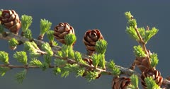Tamarack Tree, Larch, in Early Spring, Cones and New Growth ZO to WA
