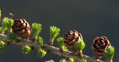 Tamarack Tree, Larch in Early Spring, New Green Needle and Cone Growth.