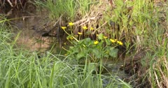 Yellow Marsh Marigolds, Blooming in Flowing Water Habitat