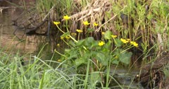 Yellow Marsh Marigolds in Flowing Water, ZI to CU