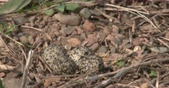 Killdeer Nest, Eggs, on Ground, ZO to WA
