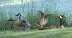 Goose Family Relaxing, Goslings Stretch, Jump Up, Run Off, Parents Follow