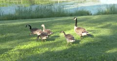 Canada Goose Family Walking, One Stretching Wings