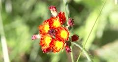 Orange Hawkweed, Wildflower, Devil's Paintbrush