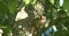Eastern Chipmunk Sitting in Tree, Turns Head Slightly