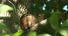 Eastern Chipmunk Hiding in Tree