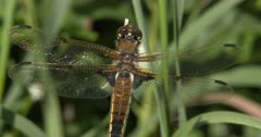 Four-spotted Skimmer Dragonfly Resting on Stem, Exits
