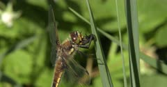 Four-spotted Skimmer Dragonfly Eating Deer Fly, Fly Kicks