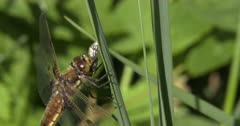 Four-spotted Skimmer Dragonfly Eating Deer Fly, Chewing Off Wings