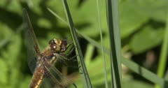 Four-spotted Skimmer Dragonfly Eating Deer Fly, Maneuvering Last Wing