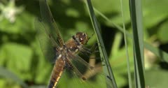 Four-spotted Skimmer Dragonfly Resting on Green Grass Stem After Eating