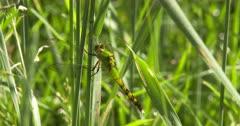 Eastern Pondhawk Dragonfly, Female, Resting on Grass Stem