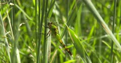 Eastern Pondhawk Dragonfly, Female Resting on Grass Stem, Exits