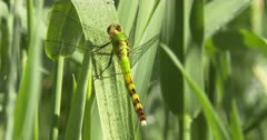 Eastern Pondhawk Dragonfly, Female Resting on Grass Stem, Moving Head
