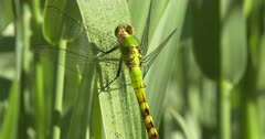 Eastern Pondhawk Dragonfly, Female Resting on Grass Stem, ZO to WA