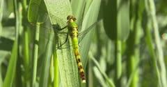 Female Eastern Pondhawk Dragonfly Resting on Grass Stem Twisting Head. Watching Prey