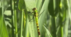 Female Eastern Pondhawk Dragonfly Resting on Grass Stem, Grooming