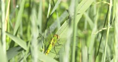Eastern Pondhawk Dragonfly on Grass Stem Watching Wasp, Wasp Looking Back