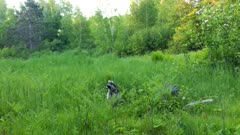 Raccoon Standing in Tall Grass, Looking to R of Frame