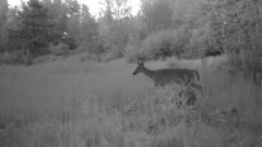 White-tailed Deer at Night, Stops in Opening, Looks Back