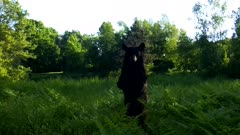 American Black Bear Looking to L of Frame, Stands Up, Moves Off to R