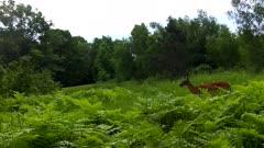 White-tailed Deer Feeding, Looking