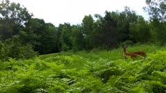 White-tailed Deer, Doe Entering Scene, Begins Feeding