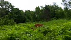 White-tailed Deer, Doe and Fawn, Doe Eating, Fawn Looking