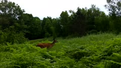 White-tailed Deer Walking Along Trail, Large Doe, Stops, Looks Back