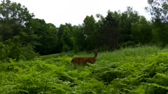 White-tail Deer, Looking, Listening, Continues On Its Way