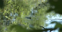 Bullfrog in Pond, Calling, Two Others Behind