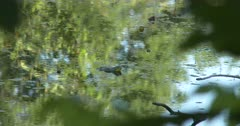 Bullfrog in Pond, Two Others Behind, One Exits