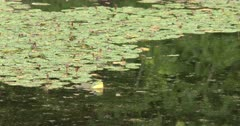 American Bullfrog Calling From Pond, Flashing Yellow Throat, Lily Pads