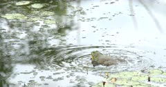Large American Bullfrog in Pond, Calling