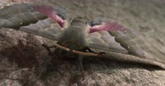 Modest Sphinx Moth, Resting on Rock, Front View