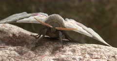Modest Sphinx Moth, Resting on Rock, Front View, ZI to CU