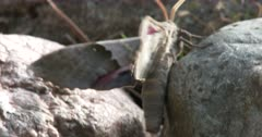 Modest Sphinx Moth, Fluttering Wings, Climbing Among Rocks