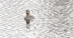 Pied-billed Grebe Floating in Pond, Calls Once, Dives