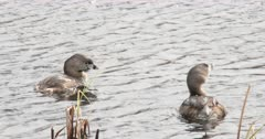 Pair of Pied-billed Grebes Floating in Pond, ZO to WA