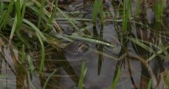 Wood Frog Floating, Closes Eyes, Bobs Head