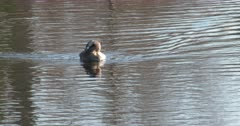 Pied-billed Grebe Swimming Toward Camera, Exits Frame