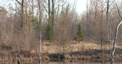 Deciduous Woods, White-tailed Deer Running