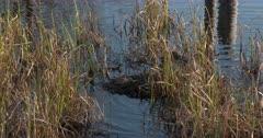 Pied-billed Grebe Hops onto Nesting Platform, Looks, Settles Onto Nest, Reenters Water