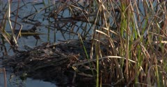 Pied-billed Grebe Nest Floating in Pond, Grebe Enters, Looks, Exits