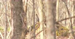 Ruffed Grouse Visible Through Stand of Trees, Drums Feathers