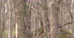 Ruffed Grouse Visible Through Stand of Trees, Opens Mouth, Yawns