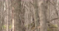 Ruffed Grouse Visible Through Stand of Trees, Turns Head, Looking