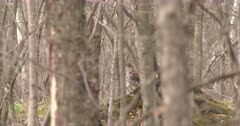 Ruffed Grouse Visible Through Stand of Trees, Turns Head, Looks At Camera